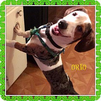 Dachshund/Corgi Mix Puppy for adoption in PARSIPPANY, New Jersey - OREO