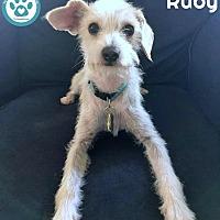 Adopt A Pet :: Ruby - Kimberton, PA