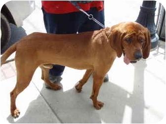 Redbone Coonhound/Bloodhound Mix Dog for adoption in Kellogg, Idaho - Boone