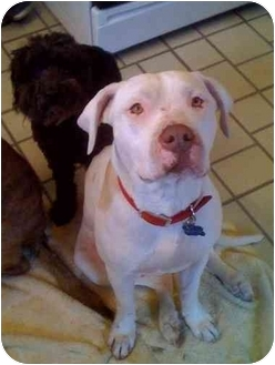 Bullmastiff/Labrador Retriever Mix Dog for adoption in Burbank, California - ROSIE