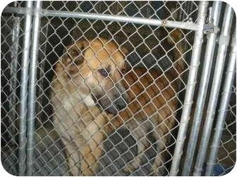 "St. Bernard/Shepherd (Unknown Type) Mix Dog for adoption in MARION, Virginia - ""Max"""