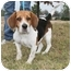 Photo 3 - Beagle Mix Dog for adoption in kennebunkport, Maine - Sissy-ADOPTED!