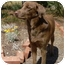 Photo 1 - Chesapeake Bay Retriever/Golden Retriever Mix Puppy for adoption in Litchfield Park, Arizona - Dougie