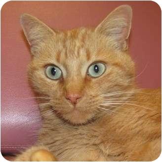 Domestic Mediumhair Cat for adoption in Jackson, Michigan - Calli