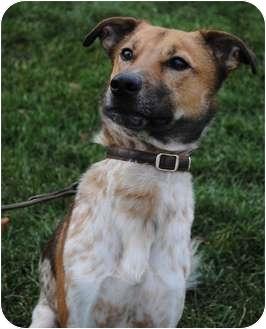 Australian Cattle Dog Mix Dog for adoption in Wheaton, Illinois - Bentley
