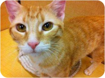Domestic Shorthair Cat for adoption in Houston, Texas - Marme