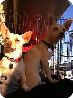 Corgi/Chihuahua Mix Puppy for adoption in North Hollywood, California - Brando