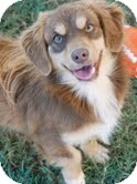 Cavalier King Charles Spaniel Mix Dog for adoption in Knoxville, Tennessee - Mia