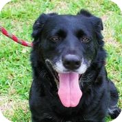 Flat-Coated Retriever Mix Dog for adoption in Austin, Texas - Lady