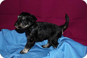 Schnauzer (Miniature) Mix Puppy for adoption in Portola, California - Haley