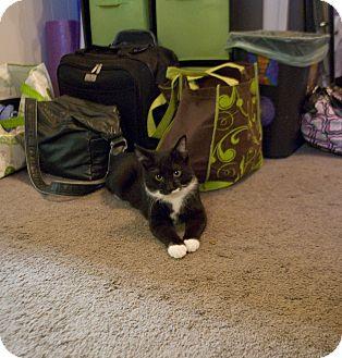 Domestic Shorthair Kitten for adoption in Nashville, Tennessee - Golden
