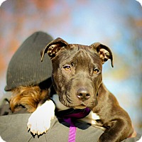 Adopt A Pet :: Madox - Reisterstown, MD
