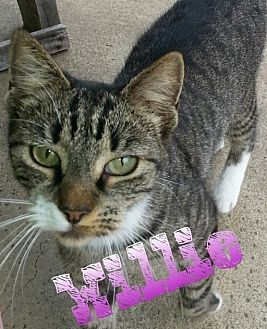 Domestic Shorthair Cat for adoption in Salisbury, North Carolina - Willie