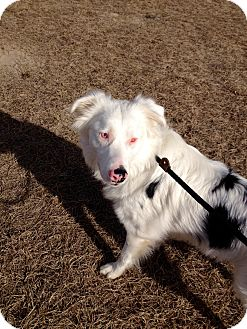 Australian Shepherd Dog for adoption in Barnwell, South Carolina - Noah