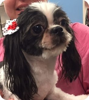 Shih Tzu Dog for adoption in Chattanooga, Tennessee - Baby