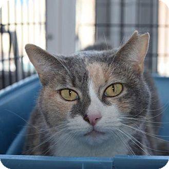 Domestic Shorthair Cat for adoption in Denver, Colorado - Sox