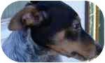 Australian Cattle Dog Mix Dog for adoption in Phoenix, Arizona - Boomer