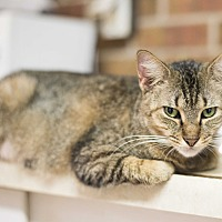 Adopt A Pet :: Chipmunk - Houston, TX