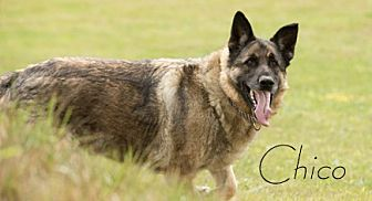 German Shepherd Dog Dog for adoption in Carlsbad Springs, Ontario - Chico