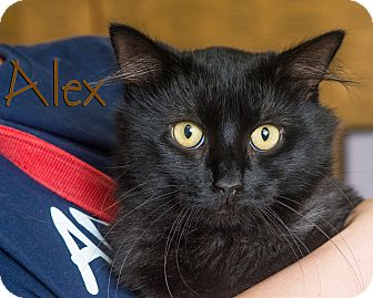 Domestic Shorthair Cat for adoption in Somerset, Pennsylvania - Alex