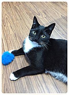Domestic Shorthair Cat for adoption in St. Charles, Illinois - Brogan