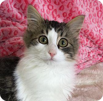 Domestic Mediumhair Kitten for adoption in Lloydminster, Alberta - Patch