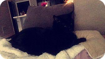 Domestic Shorthair Cat for adoption in Cincinnati, Ohio - Samurai   Courtesy Posting