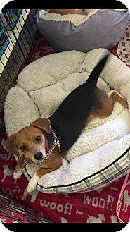 Beagle Mix Dog for adoption in Brea, California - Salsa