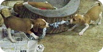 Beagle Mix Puppy for adoption in Pipe Creed, Texas - Beagle Mix Pups