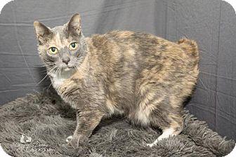 Domestic Shorthair Cat for adoption in Waynesboro, Pennsylvania - Sierra