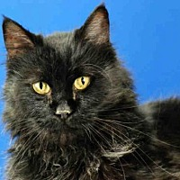 Domestic Mediumhair Cat for adoption in Fort Collins, Colorado - ATHENA