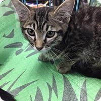 Adopt A Pet :: Cutie - Mansfield, TX