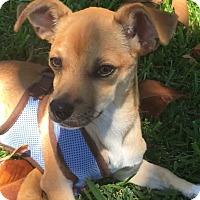Adopt A Pet :: Scout - West LA, CA