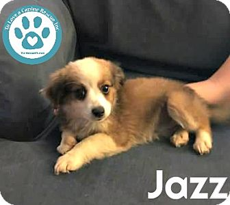 Spaniel (Unknown Type)/Terrier (Unknown Type, Small) Mix Puppy for adoption in Kimberton, Pennsylvania - Jazz