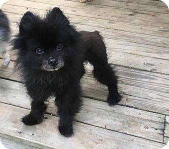 Pomeranian Dog for adoption in Delaware, Ohio - Paddington
