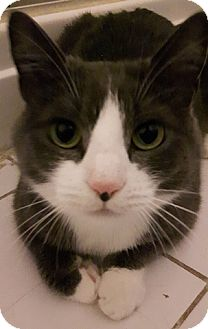 Domestic Shorthair Cat for adoption in Vancouver, British Columbia - Tammy
