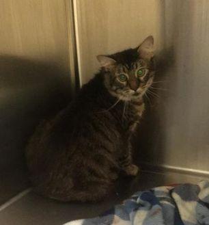 Domestic Shorthair/Domestic Shorthair Mix Cat for adoption in Lynchburg, Virginia - Vonnie