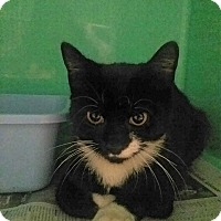 Domestic Shorthair Cat for adoption in Elizabeth, New Jersey - Young tux