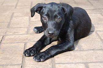 Labrador Retriever Mix Puppy for adoption in richmond, Virginia - PUPPY PEPPERJACK
