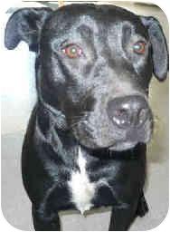 Labrador Retriever Mix Dog for adoption in San Clemente, California - ONYX