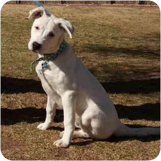 Boxer/Australian Cattle Dog Mix Puppy for adoption in Denver, Colorado - Kiddo