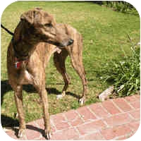 Greyhound Dog for adoption in Albuquerque, New Mexico - Monti