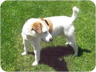 Jack Russell Terrier Dog for adoption in Scottsdale, Arizona - SUSIE