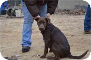 Labrador Retriever/Chesapeake Bay Retriever Mix Puppy for adoption in Stafford Springs, Connecticut - Carter