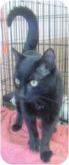 Domestic Shorthair Cat for adoption in Honesdale, Pennsylvania - Zazu