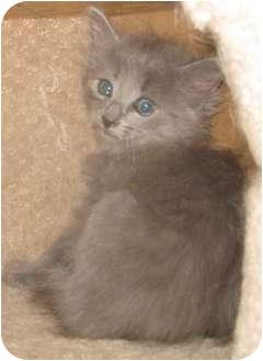 RagaMuffin Kitten for adoption in Dallas, Texas - Blue kittens