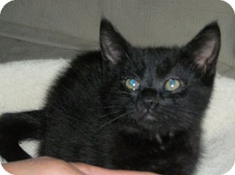 Domestic Shorthair Kitten for adoption in North Highlands, California - Wispey