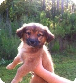 Chihuahua Mix Puppy for adoption in Columbus, Georgia - Frankenstein 156D