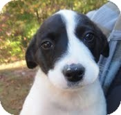 Border Collie/Beagle Mix Puppy for adoption in Allentown, Pennsylvania - Vince