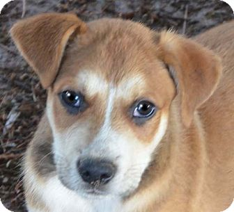 Husky Mix Puppy for adoption in Spring Valley, New York - Sport